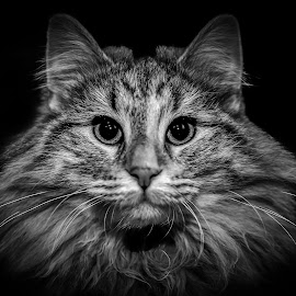 Luxurious Nordic beauty by Jurica Žumberac - Animals - Cats Portraits ( cat, black and white, pet, wildlife, black, portrait, animal )