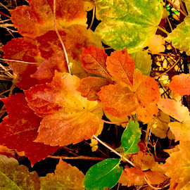 AUTUMN BEAUTY 5 by Gerry Slabaugh - Nature Up Close Leaves & Grasses ( fall colors, autumn, ivy, leaves, autumn beauty )
