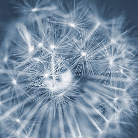 Snow dandelion by Michaela Firešová - Abstract Macro ( detail, fuzz, dandelion )