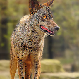 Iberic lupus canis by Gérard CHATENET - Animals Lions, Tigers & Big Cats