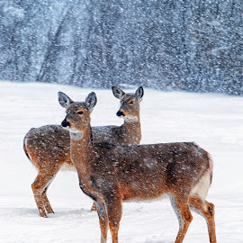Winter Whitetail by Twin Wranglers Baker - Animals Other Mammals (  )