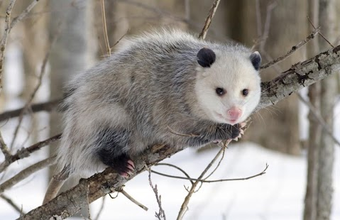 Cute Possums Wallpaper Images - screenshot