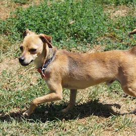 Little Pup by Samantha Golish - Animals - Dogs Running ( outdoors, summer, little, runner, tan )