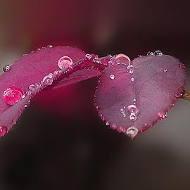 red leaves by Capucino Julio - Nature Up Close Leaves & Grasses ( rose, red, leaves, flower, droplets )