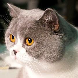 Golden eye by Sámuel Zalányi - Animals - Cats Portraits ( wcf, cat, temesvár, golden eye, bánát, exhibition, timisoara, yellow eyes )