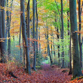 Sunday Walk. by Sorin Bogdan - Landscapes Forests ( uk.chalfont, tree, autumn, colors, fall, 2012, forest )