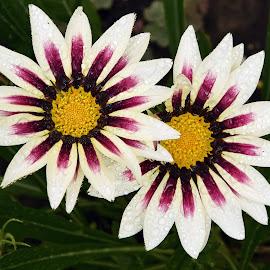 two gazanias by LADOCKi Elvira - Flowers Flower Gardens