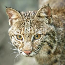 Bobcat by Carol Plummer - Animals Lions, Tigers & Big Cats