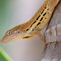 Striped Anole