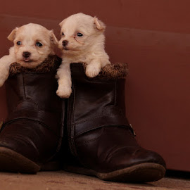Maltese by Lize Hill - Animals - Dogs Puppies