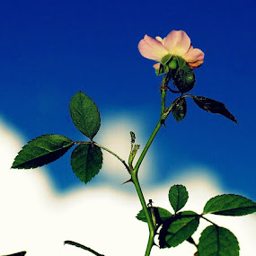 Mini rose by CRISTINA  CASTRO - Nature Up Close Flowers - 2011-2013 ( rose, sky, miniature rose, pink, leaves, flower )
