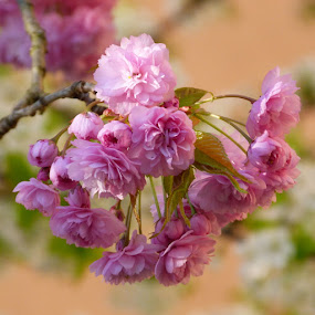 Pink by Helena Moravusova - Flowers Tree Blossoms ( spring, flowers, pink, nature )