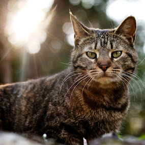 wild tabby cat in a field by Donatella Tandelli - Animals - Cats Portraits ( wild, muzzle, cat, wildlife, vegetation, country, field, tabby cat, nature, backlight, sunset, hood, animal )