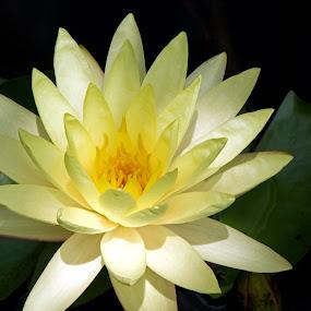 Lotus I by Judy Florio - Flowers Single Flower ( lotus, summer, yellow, garden, pond )