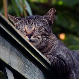 Fencetop Cat Nap by Reda Veitas-Limantas - Animals - Cats Portraits ( cat, america, keys, hemingway, us, candid, key west, sleep, usa, u.s., united states, united states of america, fence, fl, north america, winter, florida, pets )