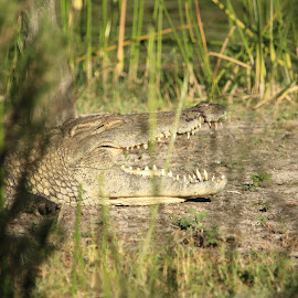 Just cooling off by Sandra Mcgowan - Animals Other ( crocodile, kruger park, south africa, southern africa )