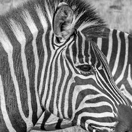 Zebra by Gert van Niekerk - Black & White Animals