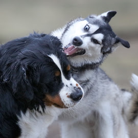 Arrrrrrgh by Peter Marzano - Animals - Dogs Playing