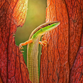 Opening My Window... by Vincent Sinaga - Animals Reptiles ( opening window, lizard, green lizard, reptile, animal )