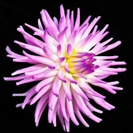 Purple Pretty by Joan Sharp - Flowers Single Flower ( slender petals, purple, yellow center, flowers,  )