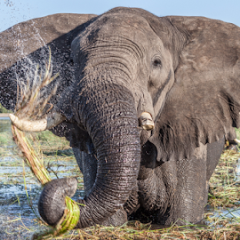 Cleaning the food by Wim Moons - Animals Other Mammals ( chobe, water, wild, botswana, elephant, africa )
