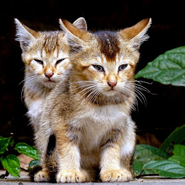 Kittens  by Asif Bora - Animals - Cats Kittens (  )
