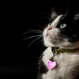 Abby by Pierre Lombard - Animals - Cats Portraits ( cat, pet, portrait, animal )