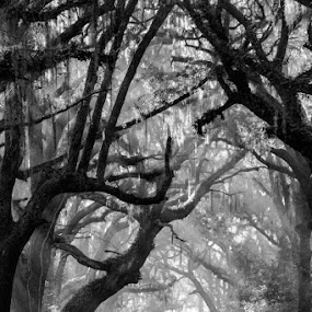 Fogfy Rays in Black & White by Bonnie Davidson - Black & White Landscapes ( b&w, fog, black and white, botany bay, moss, trees, forest, road, landscape, branches, photography, south carolina, mist,  )