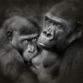 Intimacy by Ann J. Sagel - Animals Other Mammals ( silverback, gorilla, animal nursing, ann sagel,  )