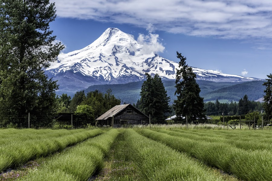by Chris Bartell - Landscapes Mountains & Hills ( oregon, hood river, lavender )