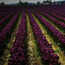 purple fields  by Lavonne Ripley - Landscapes Prairies, Meadows & Fields