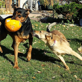Neverrrrrrrrr take a ball from a lady by Anthony Carlo - Animals - Dogs Playing (  )