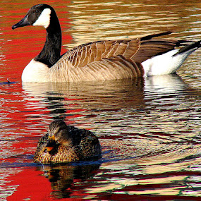 Natural Reflections - Goose and Duck by Carol Milne - Animals Birds