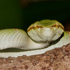 Wagleri's Pit Viper