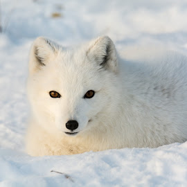 Curious by Ingrid Wilcox - Animals Other Mammals ( animals, arctic fos, wildlife, arctic, white fx )