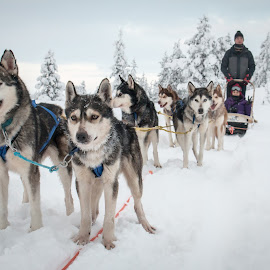 Huskies sledding by Natalia Dobrescu - People Street & Candids ( dogs, huskies, wonderland, street, finland, candid, arctic circle, dogs sledding, winter, sledding, lapland, winter wonderland, snow, dogssledding )
