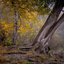 Leaner By the River by Gary Hanson - Nature Up Close Trees & Bushes ( minnesota, fall, north shore, leaner, lake superior, cedat, temperance river, banks )