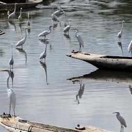 As garças do Paraguaçu by Aldemir Vieira - Transportation Boats ( iguape, ipitanga foto clube, santiago, recôncavo, acupe, ifc )