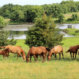 Horses Relaxing by Pond by Kleah Hasty- Mayahn - Animals Horses ( grazing, horses, cowboys, western, mares and foals )