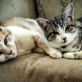 Siblings  by Melanie Pond - Animals - Cats Portraits ( kitten, cute cat, siblings, relaxing, ginger cat, photography, relationship, looking, two, tabby cat, couch, friendship, kittens, kitty, domestic cat,  )