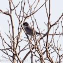 Sardinian Warbler; Curruca Cabiciegra