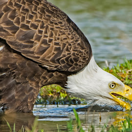 Drinking the Water of Life by Robert Steagall - Animals Birds ( water, pride, eagle, symbolism, soar )