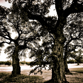 The Three Oaks by Kent Moody - Digital Art Places ( norse, oaks, black & white, texas, landscapes, live oaks,  )