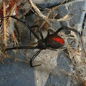 Redback Spider - female