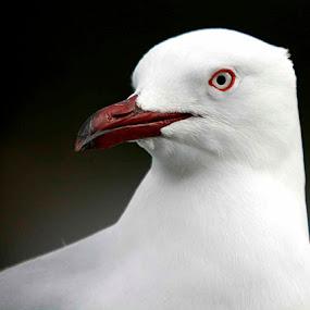 Sea Gull by William Greenfield - Animals Birds ( bird, red, white, sea gull, eye )