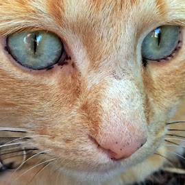 Beautiful eyes by Dobrin Anca - Animals - Cats Portraits ( cat, funny, soul, brittany, eyes )