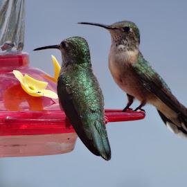 Hummer by Jo Anne Rosenfeld - Novices Only Wildlife ( bird, bear lake, nature, hummingbird, reststop, west )
