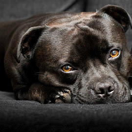 King by Terje Sandø - Animals - Dogs Portraits ( pet, brown, staffordshire, dog, black, eyes, animal )