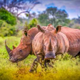 Rhino Brothers by Mauritz Janeke - Animals Other Mammals ( lr cc, mauritz, rhinos, africa, rhino, two rhinos, animal )