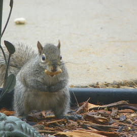 The nutty squirrel  by Sandy Stevens Krassinger - Animals Other Mammals ( peanut, whiskers, nut, gray, mammal, squirrel,  )